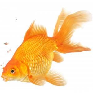 Assorted Fantail Goldfish 9cm